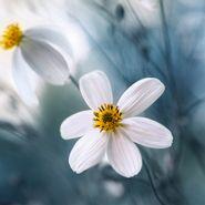 Cuadro-Cosmos-Flowers-30-30Cm-Vidrio