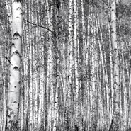 Sticker-Deco-Wall-Birch-Forest-254-366Cm-Papel