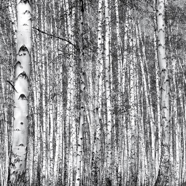 Sticker-Deco-Wall-Birch-Forest-254-366Cm-Papel