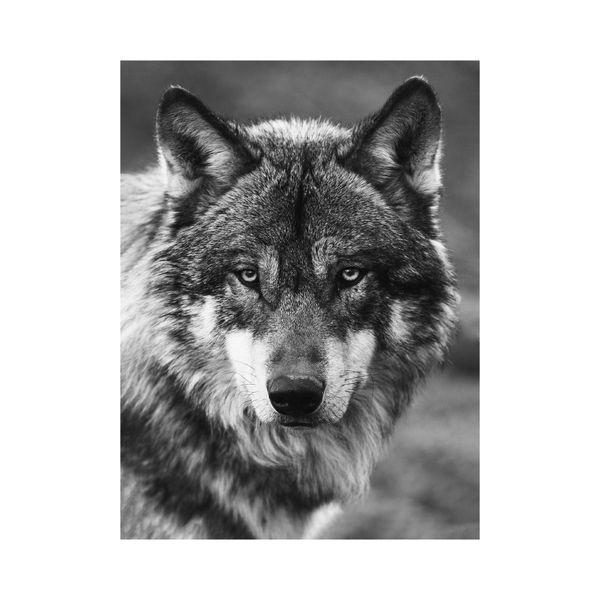 Cuadro-Wolf-Portrait-60-80Cm-Canvas-Silver------------------